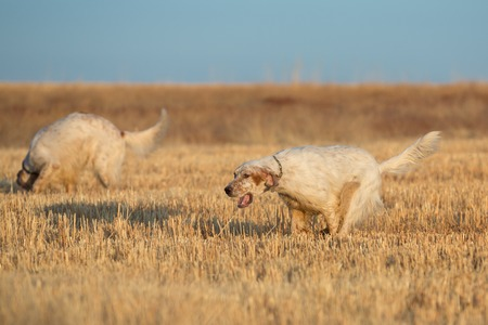 Side view of brown dotted setter purpurebred dog running over cultivated wheat field photo