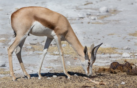 Side view of Springbok smelling excrements in Namib photo