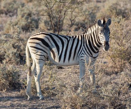 great plains: Side view of single zebra