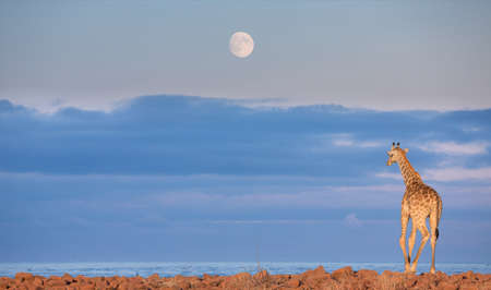 Rear view of giraffe against sky and stone ground near sea and full moon (photomontage) Stock Photo - 25866700