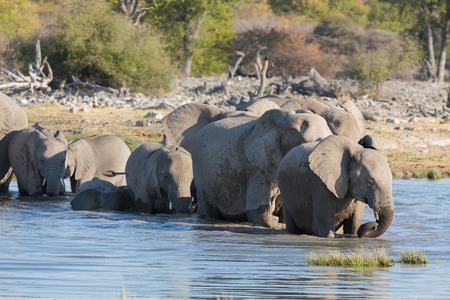 Group of elephants getting into waterhole in Etosha photo