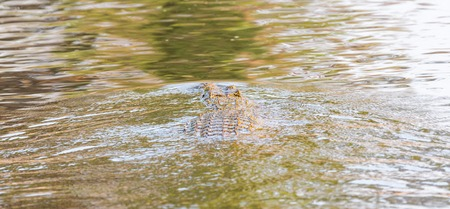 twisty: Rear view of wildlife crocodile over water camouflaged Stock Photo