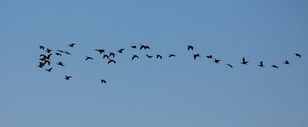 Group of glossy ibis (plegadis falcinellus) flying, backlit photo