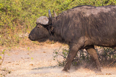 Side view of African buffalo walking photo
