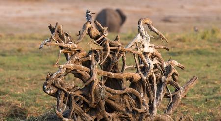 srokaty: Pied kingfisher sharing standing over branches Zdjęcie Seryjne