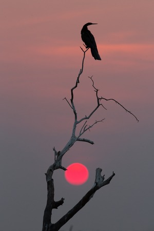 aves: Rear view of African Darter (Anhinga rufa) perched at sunset over dead tree Stock Photo