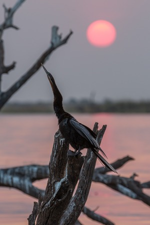 darter: Rear view of African Darter (Anhinga rufa) perched at sunset over dead tree Stock Photo