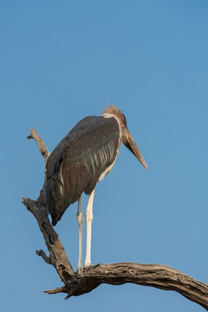 bald ugly: Side view of Marabou standing over dead tree