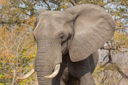 chobe national park: Front view of elephant in alert in Chobe national park Stock Photo