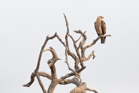 stared: Tawny eagle (Aquila rapax) looking to something while perched on a dead branch, Chobe National Park