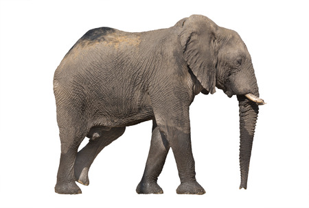Side view of walking elephant on white background Imagens