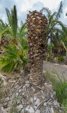 detailed view: Detailed view of abandoned palm tree nursery