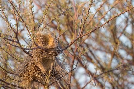 sociable: Closeup vista del nido del tessitore socievole (Socio philetairus) al crepuscolo