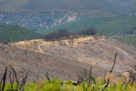 devastating: Pine tree on top of hill after devastating fire Stock Photo