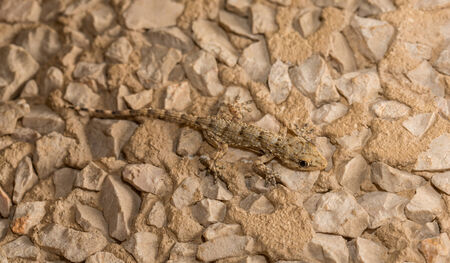 viviparous: Lizard over stone background Stock Photo