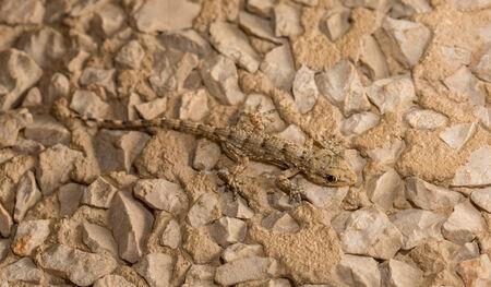 animal viviparous: Lizard over stone background Stock Photo