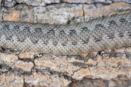 Viper snake skin photo