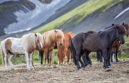 Zijaanzicht van IJslandse paarden groep in Landmannalugar Stockfoto