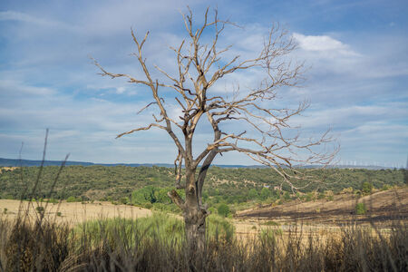 chestnut tree: Chestnut tree after the Fire