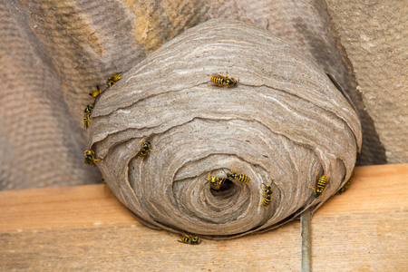 Closeup view of wasps and huge nest Stockfoto