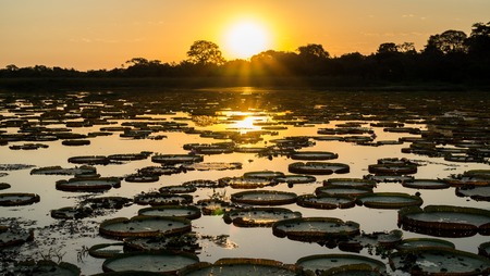 Sunset in Brazilian Pantanal with victoria regias and water