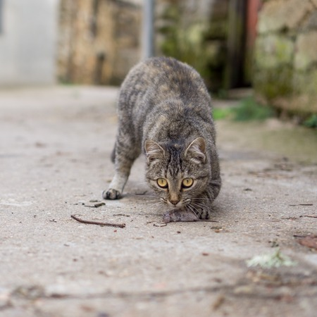 hunted: Stray cat just hunted a mouse Stock Photo