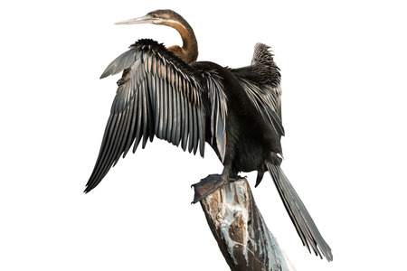 darter: African Darter over branch and white background (side view) Stock Photo