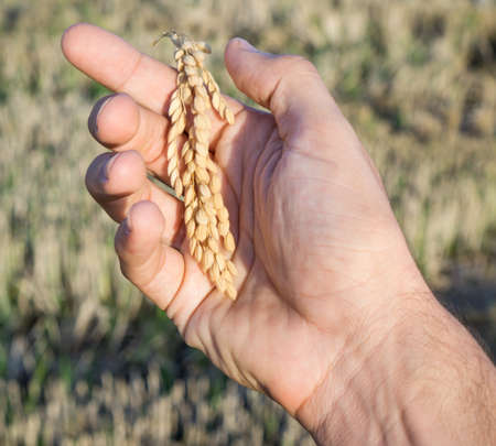 hombre caucasico: Hombre del C�ucaso mano derecha con espiga de arroz Foto de archivo