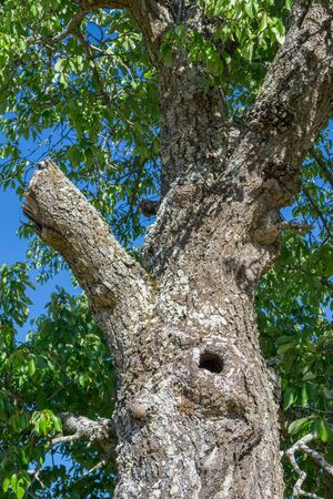 chestnut tree: Chestnut tree with hole and broken branch, closeup