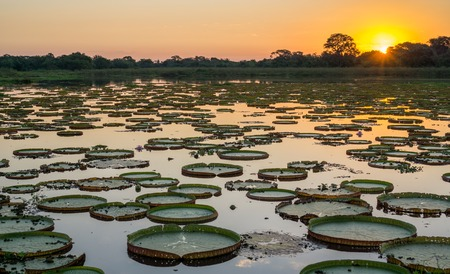 Sunset in pantanal wetlands with pond and victoria regia