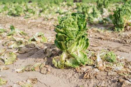 riped: Closeup of isolated last lettuce in the ground after harvest Stock Photo
