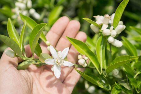 naranja arbol: Flor del �rbol de naranja y la mano