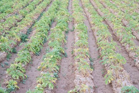 backlights: Closeup of furrows potato plantation, green leafs, growing plant