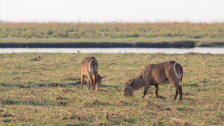 chobe: Side view of Water antelopes in Chobe National Park, Botswana