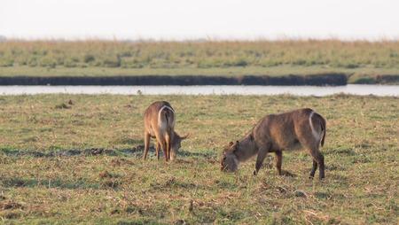 botswana: Side view of Water antelopes in Chobe National Park, Botswana