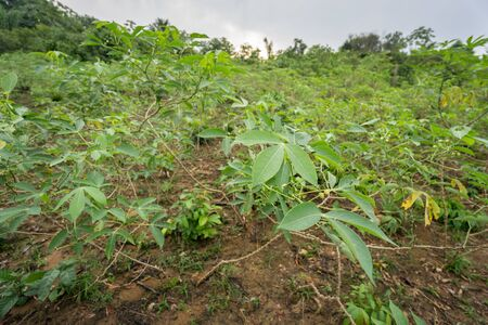 amazon forest: Closeup of cassava plantation leafs, Amazon forest, Brazil Stock Photo