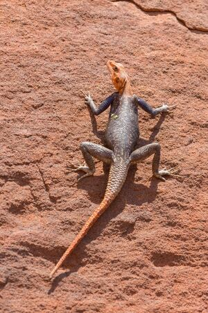 namib: Top view of Agama over rocks in Namib Stock Photo