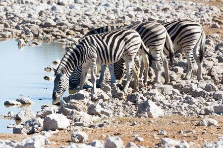 pozo de agua: Vista lateral del grupo de cebras en la charca