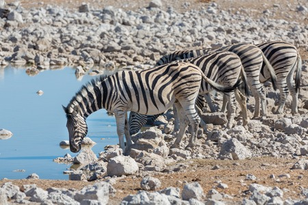 waterhole: Side view of group of zebras at waterhole