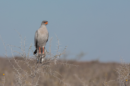 Front view of goshawk alighted on top of hawthorn
