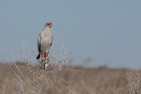goshawk: Front view of goshawk alighted on top of hawthorn