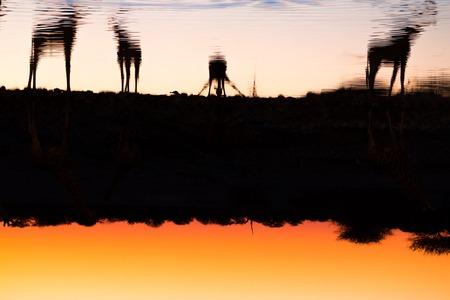 pozo de agua: Vista lateral del grupo de jirafas en la bebida puesta de sol en un pozo de agua