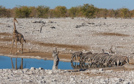 at waterhole: Vista lateral del grupo de cebras y jirafas en la charca