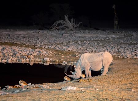 waterhole: Side view of rhino at night drinking in a waterhole Foto de archivo