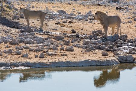 waterhole: Male and female lions standing near waterhole