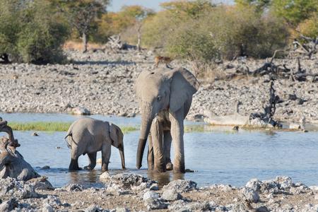 pozo de agua: Los elefantes j�venes beben agua en la charca en Etosha Foto de archivo