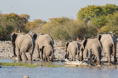waterhole: Group of Elephants leave waterhole in Etosha Stock Photo