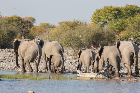 pozo de agua: Grupo de los elefantes dejar charca de Etosha