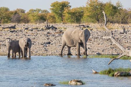 waterhole: Mom and baby elephants getting into waterhole in Etosha