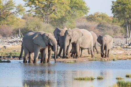 at waterhole: Grupo de elefantes beber en una charca de Etosha Foto de archivo